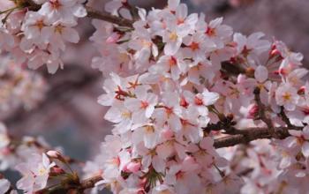 Korean Cherry Blossoms