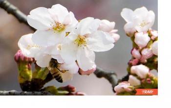Hwagae Cherry Blossom Festival | Travel Review & Tips