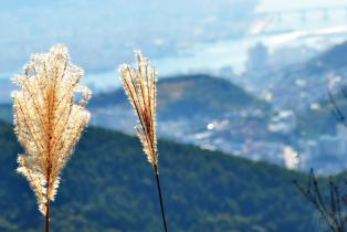 Pampas at Mt. Seunghak