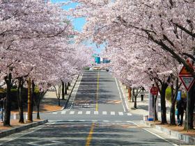 Cherry Blossoms at Shattuck Hall, Keimyung University