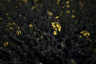 Yellow Flowers, Ulsan