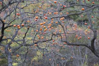 Persimmon vs Winter