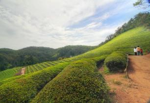 Tea Paths